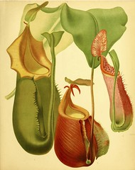 Climbing Pitcher plant. Nepenthes veitchii. The garden. An illustrated weekly journal of horticulture in all its branches [ed. William Robinson], vol. 17- (1880). (Swallowtail Garden Seeds) Tags: flowers vintage botanical gardening vine botany santarosa carniverous publicdomain gardenflowers carniverousplant vintageillustration botanicalillustration gardenillustration flowerillustration 19thcenturyillustration swallowtailgardenseeds veithchspitcherplant carniverousvine carniverousplantillustration