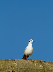 On Guard (Mukumbura) Tags: blue autumn england sky bird gull guard wells somerset walls turret blackheadedgull bishopspalace