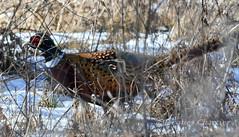 Pheasant DSC_2871-2 (jacques chartier) Tags: pheasantharrierfemccsp