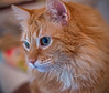 The Gaze (gtncats) Tags: portrait pet cat lowlight feline tabby indoor mainecoon ef50mm felineface canon70d photographyforrecreation infinitexposure