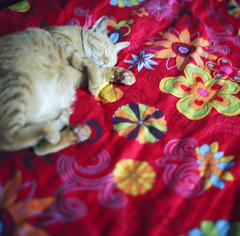 / Hibernate /  (SiouSiou Lin) Tags: cold comfortable cat sleep taiwan pro fujifilm six hibernate kowa 160ns