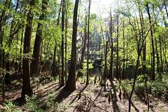 Weston Lake in distance (daveynin) Tags: trees shadow sun lake tree nps southcarolina swamp wetlands congaree baldcypress deaftalent deafoutsidetalent deafoutdoortalent