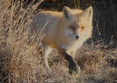 Old Friend (Feathered Trail Photos) Tags: fox mfcc mynj