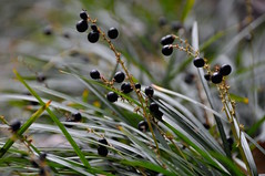 Monkey Grass ( during the winter in the deep south) (faungg's photos) Tags: winter plants nature closeup  18200  monkeygrass