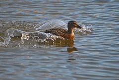 Duck (Glenn Pye) Tags: bird nature water birds duck pond nikon wildlife ducks ponds d3000 nikond3000