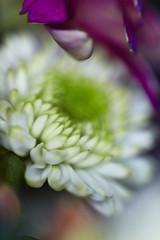 Pi mi lasciano sola pi splendo. Alda Merini (thescourse) Tags: macro canon petals alone petali bellows aldamerini canoniani canonitalia ef135mmf20 canoneos5dmkii eos5dmkii pimilascianosolapisplendo