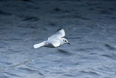 gull (pamelaadam) Tags: autumn sea bird nature animal digital scotland october gull fotolog aberdeen 2014 thebiggestgroup