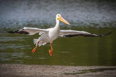 American White Pelican (Gadwall85) Tags: bird birds flying florida birding flight pelican sanibelisland birdwatching americanwhitepelican jndingdarlingnationalwildliferefuge sanibelislandfl canon70d tamron150600mm tamronsp150600mmf563divcusd