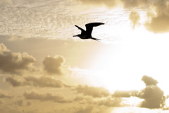 frigate bird soar in the sunset