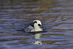 SMEW! (wacphoto) Tags: england nature water duck wildlife waterfowl puddleduck smew whiteduck smallduck swimmingduck smewduck slimbridgewetlandscenter wendychapman