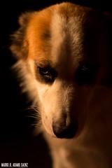 _MG_4065 (MauroAdamoSaenz) Tags: dog pet black negro perro coco fondo mascota mauro 50mm18 saenz backgroud adamo canont3