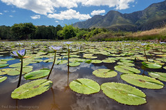 Lily Pond (Panorama Paul) Tags: reflections purple waterlilies greyton nikkorlenses nikfilters nikond800 wwwpaulbruinscoza paulbruinsphotography riviersonderendmountains