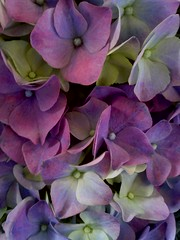(aliciap.clausell) Tags: color purple morado floresflowers tonalidades