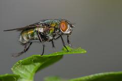 Green fly (mcvmjr1971) Tags: macro verde green home fly nikon 11 f28 mosca teleconverter 150mm 14x lenssigma d7000 mmoraes