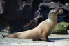 Zalophus californianus - Otarie de Californie - California sea lion  46.jpg