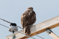 Ferruginous Hawk gives some mean looks