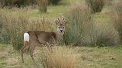 In Velvet (KHR Images) Tags: wild male nikon wildlife deer antlers mature roedeer cambridgeshire naturephotography capreoluscapreolus invelvet d7100 kevinrobson khrimages bakersfen