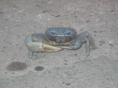 A Blue Crab