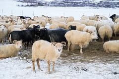 DSC01469 (ekremenak) Tags: photo iceland sheep 1502 150212