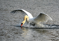 Splash Landing! (Eleanor (No multiple invites please)) Tags: london water swan ngc hydepark splash muteswan theserpentine nikond7100 february2015