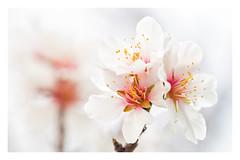 Le printemps arrive ! - Spring is coming ! (jeff_006) Tags: flower tree nature closeup spring almond olympus pistil petal pro f28 omd 40150 em5