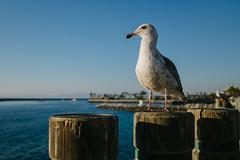 Profile (bhop) Tags: ocean california blue bird beach fuji seagull blues fujifilm redondo select x100 vsco x100t