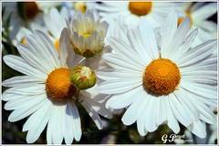 MARGUERITES DES CHAMPS (Gilles Poyet photographies) Tags: fleurs lyon soe marguerites autofocus cration rhnealpes parcdelattedor aplusphoto artofimages rememberthatmomentlevel1