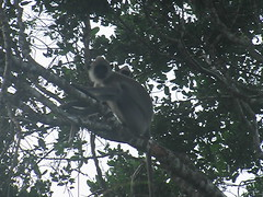 Langur in a Tree Yala Park