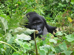 Gorilla Sticking His Head Out of the Bush