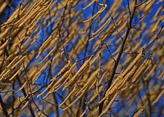 Wind of Change (heinrich_511) Tags: blue light sun sunlight primavera gold golden spring heart fate destiny windofchange