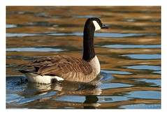 Branta canadensis - Canada Goose (Marc Nollet) Tags: canadagoose brantacanadensis bernacheducanada grotecanadesegans