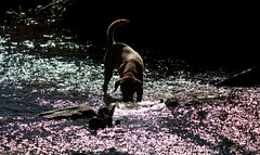 A Dog And Purple Water (ZoRM) Tags: light red dog colour water reflections river heidi stream labrador purple logs fox