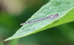 Pale Damselfly! (RiverCrouchWalker) Tags: walthamabbey june summer 2016 damselfly commonbluedamselfly enallagmacyathigerum perching