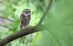 Spotted Owlet (T@hir'S Photography) Tags: eyes nature gettyimages pakistan marala head owlet spotted bird owl beautiful green brama brown tree athene scene wild wildlife rural large extreme wilderness animals predator feathers beauty morning outdoors forest clear feather sitting leaves leaf asia asian background beak camouflage captive carnivore cavity claw close closeup dot eastern hole hunter hunting imitation iris looking natural pearlspotted polka prey raptor staring terrain thailand tahir canon sialkot wilbird birdsofmarala birdsofpakistan birdsofsialkot shine fetahers detail colors color explore