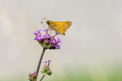 Fiery Skipper (PhillymanPete) Tags: summer orange flower macro nature beauty butterfly insect us newjersey flora nikon purple unitedstates skipper palmyra palmyracovenaturepark fieryskipper d7200
