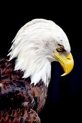 DSC_5085ZZ (Tony Smithers) Tags: wild birds eagle little snowy bald owl prey eagles owls hawks predators
