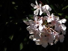 sono esplosi gli oleandri (fotomie2009) Tags: oleander oleandro flower fiore flora fiori flowers