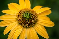 Flower (Seth J Dewey Photo) Tags: newhampshire nashua flickrphotowalk