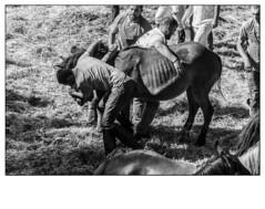 Rapa das Bestas (Jose Losada Foto) Tags: acorua animales bn blancoynegro caballos campo ciudadesypueblos curro espaa excursin fotografia galicia joselosada lugares naturaleza nikon personas vimianzo tradiciones