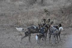 10075533 (wolfgangkaehler) Tags: africa playing nationalpark african wildlife predator zambia africanwilddog southernafrica predatory 2016 africanhuntingdog zambian southluangwanationalpark africanwilddoglycaonpictus