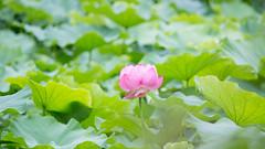 201608_02_2560 (noriko_v) Tags: lotus flower summer nature