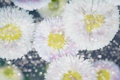 Daisies (mariola aga) Tags: chicagobotanicgarden glenco garden flowers daisies closeup bokeh blending art floralfantasy saariysqualitypictures thegalaxy