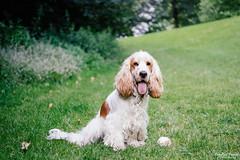 Having a break (cornilc) Tags: milo dog english cocker spaniel orange roan fluffy outdoor park grass green nature bokeh fujifilm 50140mm fuji xt1