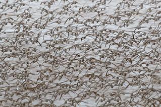Shorebirds, Shepody Bay