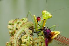 want some? (zaidirazak) Tags: macro hierodulasp insects mantis malaysia zaidirazak wildlife nature mantodea closeup