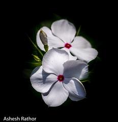 Periwinkle (asheshr) Tags: white flower macro blackbackground whiteflower blossom periwinkle flowercloseup flowermacro whitepetals beautifulflower beautifulmacro