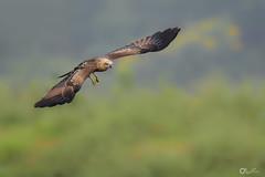 Brahminy Kite (juvenile) (nomane172) Tags: brahminykite kite bird animal outdoor wildlife nature wildlifephotography naturephotography birdsofbangladesh gazipur bangladesh nikon d750 tamron 150600mm ngc depthoffield