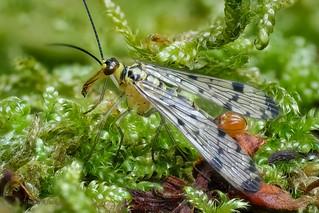 Deutsche Skorpionsfliege (Panorpa germanica) - Männchen