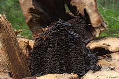 Schwarze Holzameise Bau 01 (Rich Art Light) Tags: schwarze ameise holz baum schden ant