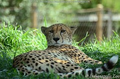 Jachtluipaard - Acinonyx jubatus - Cheetah (MrTDiddy) Tags: jachtluipaard acinonyx jubatus cheetah bigcat big cat grotekat grote kat feline mammal zoogdier indianapolis zoo indianapoliszoo indiana usa